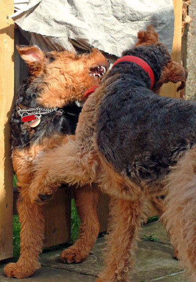 Airedale Terriers playing