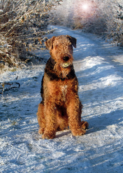 Airedale Terrier in snow