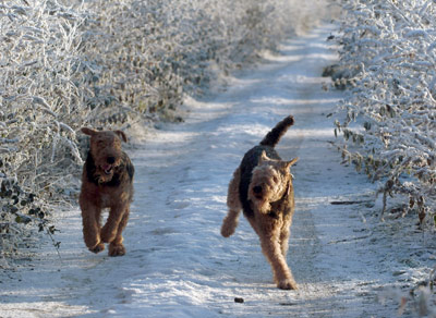Airedale Terriers in snow