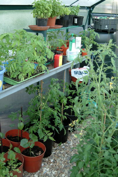 tomatoes, chillies, basil & okra growing in the greenhouse