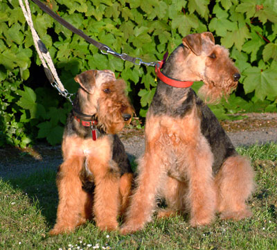 Airedale Terriers