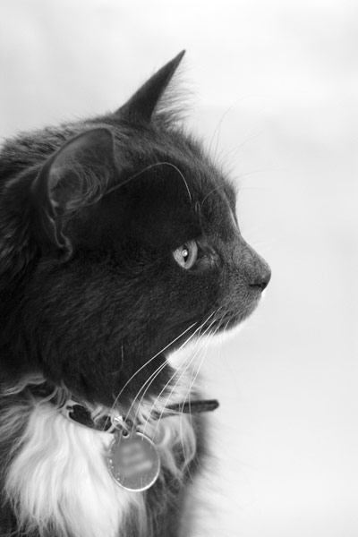 black & white photo of long haired blue & white cat