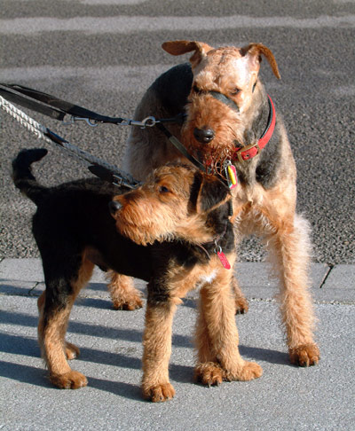 Airedale puppy & adult